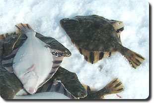 какая рыба клюет на мясо ракушки